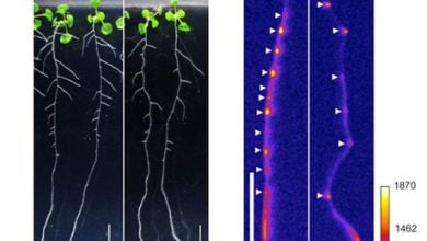 Photo of Plant peptide helps roots to branch out in the right places