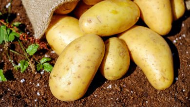 Potato Pathogens Meet Their Match - اخبار زیست فن