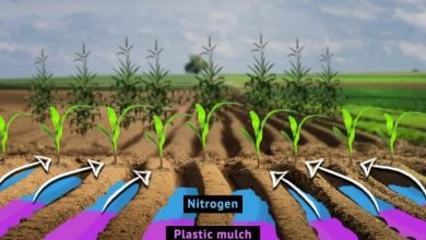 combination of nitrogen fertilizers and plastic mulch - اخبار زیست فن