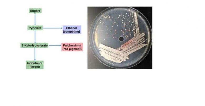 gene cluster in budding yeasts - اخبار زیست فن