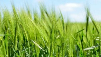 Photo of Scientists improve on photosynthesis by genetically engineering plants
