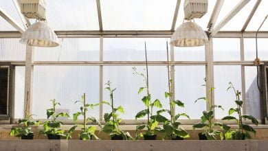 Photo of Scientists engineer shortcut for photosynthetic glitch, boost crop growth by 40 percent