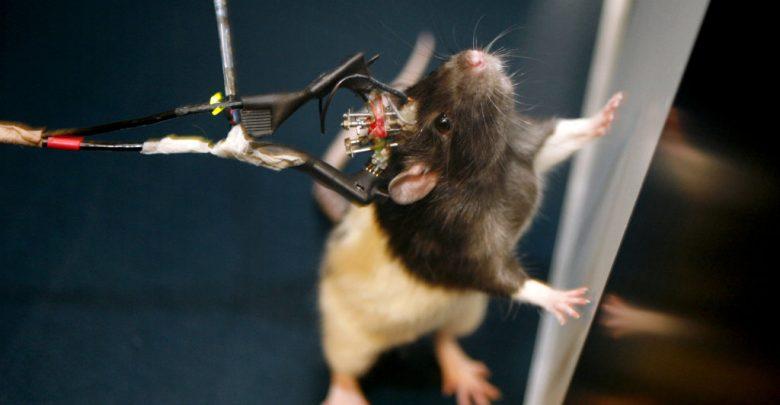 انقلابی ترین آزمایش بیوتکنولوژی سال 2019: کنترل حرکات موش توسط ذهن انسان