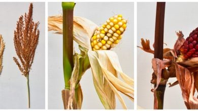 Photo of Researchers unravel 58-year-old corn gene mystery