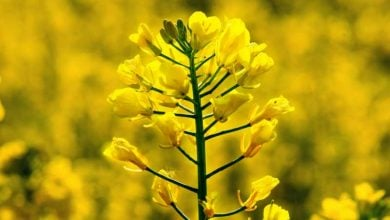 Photo of Bitter rapeseed