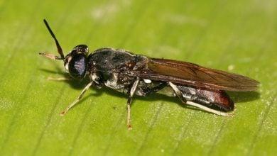 اقتصاد اسکاتلند در گرو پرورش حشرات