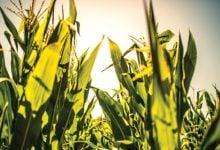 Photo of Yield10 Bioscience Initiates Early Development Program in Corn to Evaluate Novel Traits