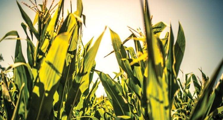 Early Development Program in Corn - اخبار زیست فن