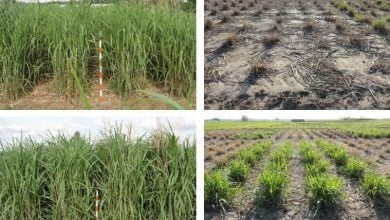 Photo of Miscanthus With Improved Winter-Hardiness Could Benefit Northern Growers