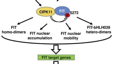نقش پروتئین FIT در مقابله گیاهان با کمبود آهن