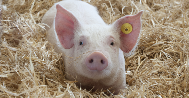 Pig farms must be fined - biotechnology news