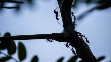 Photo of تولید آنتیبیوتیک های جدید با کمک حشرات