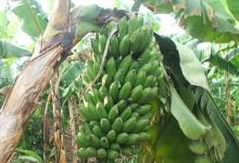 Photo of Scientists successfully use gene-editing technology to develop first-ever plantain resistant to banana virus streak