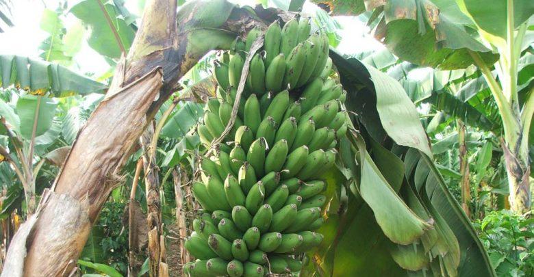 banana virus streak - biotechnology news