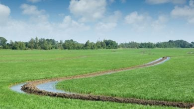 rice crops - biotechnology news