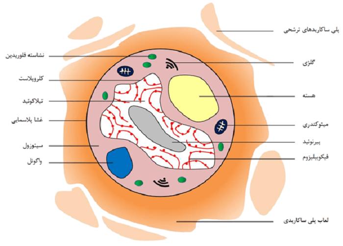 شکل 1- ساختار داخلی ریزجلبکهای قرمز