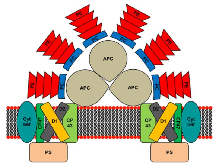 شکل 2- طرح ساختاری فیکوبیلیزوم در ریزجلبکهای قرمز