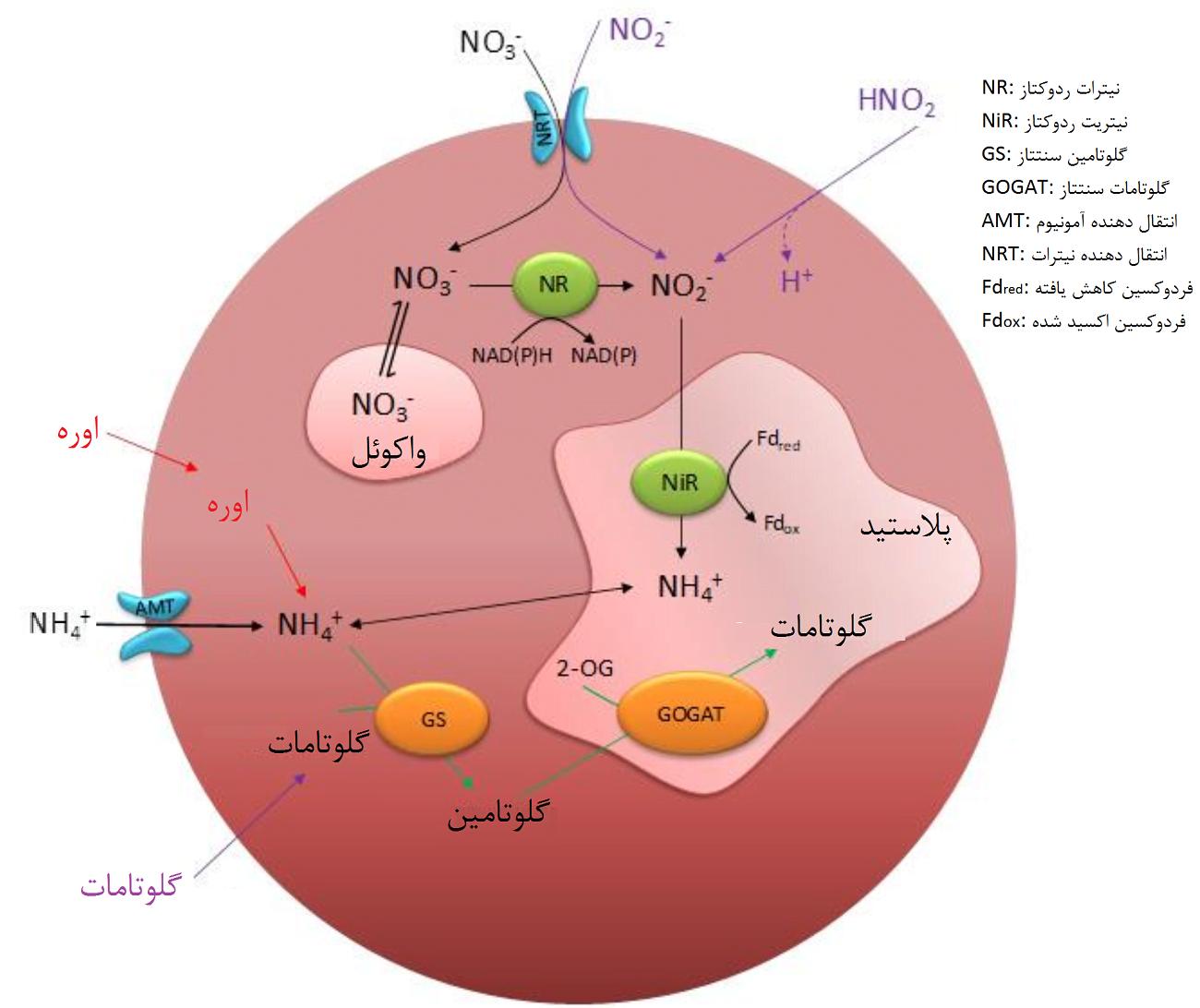 شکل 5- ساز و کار احتمالی جذب نیتروژن در ریزجلبکهای قرمز