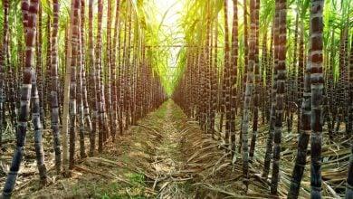 Photo of اصلاح ژنتیکی نیشکر و استفاده از آن در صنعت شکر