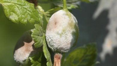 مکانیسم ایمنی گیاهی در برابر عفونت