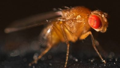 Photo of پپتیدهای ضد میکروبی مگس سرکه