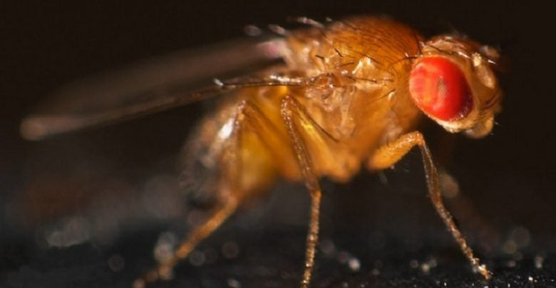 پپتیدهای ضد میکروبی مگس سرکه