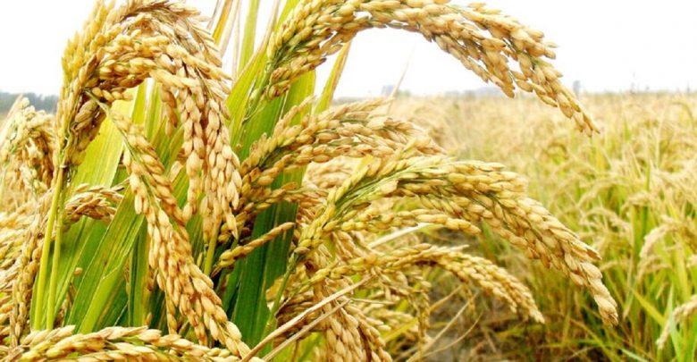 تغییر بیوسنتز نشاسته در برنج