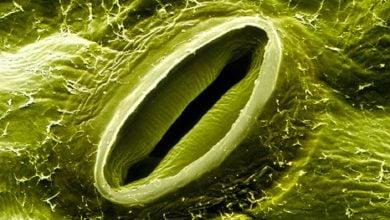 Photo of تکامل مسیرهای سیگنالینگ روزنه ای در گیاهان