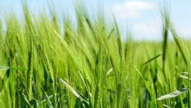بهبود محصولات با میکروبهای خاک