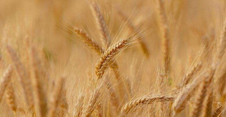 مقابله با شوری در گندم