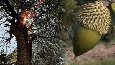 Photo of بهبود جنگلهای بلوط با کمک فناوریهای زیستی