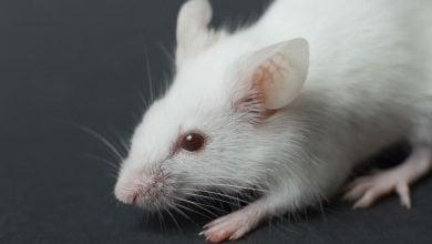 Photo of تولید ۵ نژاد خالص موش آزمایشگاهی