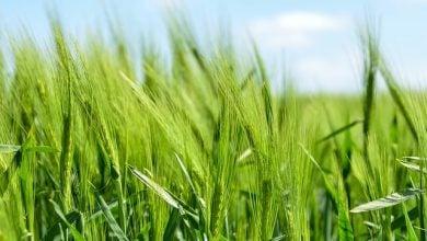 Photo of آینده استفاده از فناوری کریسپر در محصولات کشاورزی