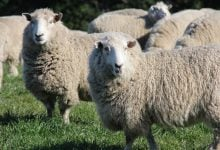 Photo of روشی جدید برای کاهش نشر گاز متان از حیوانات