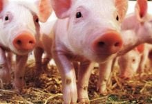 پیوند قلب خوک به انسان