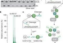 Photo of روشی نوین برای شناخت بهتر سیگنالینگ یوبی کوئیتین