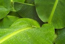 Photo of برگ موز، جایگزینی مناسب برای ظروف پلاستیکی یکبار مصرف
