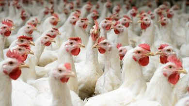 Photo of کنسرسیومی برای حل مقاومت آنتیبیوتیکی در مرغها با فناورینانو
