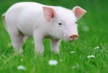 Photo of ترمیم سوختگی پوست انسان با سلول زنده پوست خوک