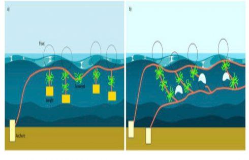 دو مدل از سیستم کشت ماکروجلبک