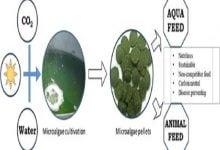 Photo of استفاده از میکروجلبک به عنوان مکمل غذایی