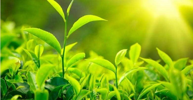 اثر عصاره های گیاهی بر خصوصیات فیلم های بسته بندی تخریب پذیر