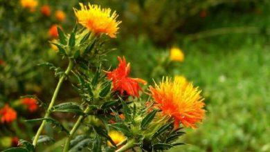 Photo of استفاده از گیاه گلرنگ برای تولید بیواتانول و بیودیزل
