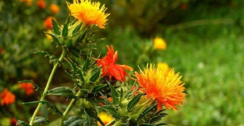 استفاده از گیاه گلرنگ برای تولید بیواتانول و بیودیزل