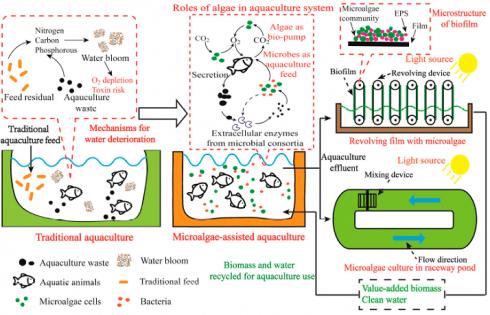مقایسه آبزیپروری معمولی و آبزیپروری به کمک میکروجلبک