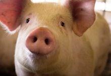 Photo of پرورش سوپر خوک توسط چینی ها