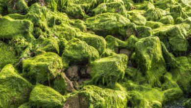 Photo of تولید مستقیم بیودیزل از زیست توده میکروجلبک