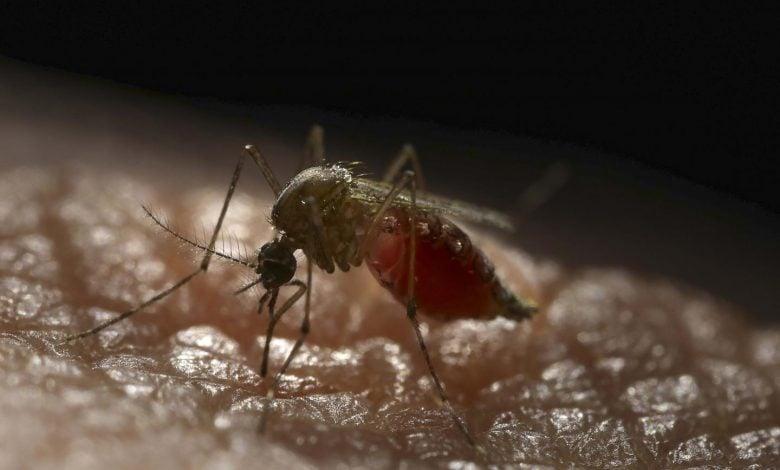 محققان بینالمللی در پژوهشی جالب و با استفاده از مهندسی ژنتیک، موفق به تولید پشههایی شدهاند که قادر به آلوده شدن و انتقال ویروس دنگی نیستند. این یافتهها، پیشرفت بزرگی در کنترل این بیماری محسوب میشود.