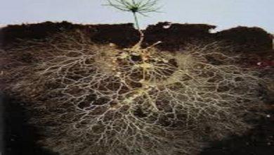 Photo of کاهش ارتباط گیاه و میکروارگانیسم ها توسط مواد آلی