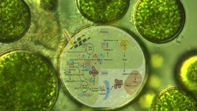 Photo of مدلسازی متابولیکی میکروجلبک ها و آخرین پیشرفت های آن